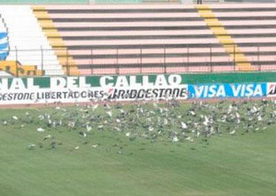 Palmeiras treina na Vila Olimpica no Peru mesmo com a invasao de pombos no campo